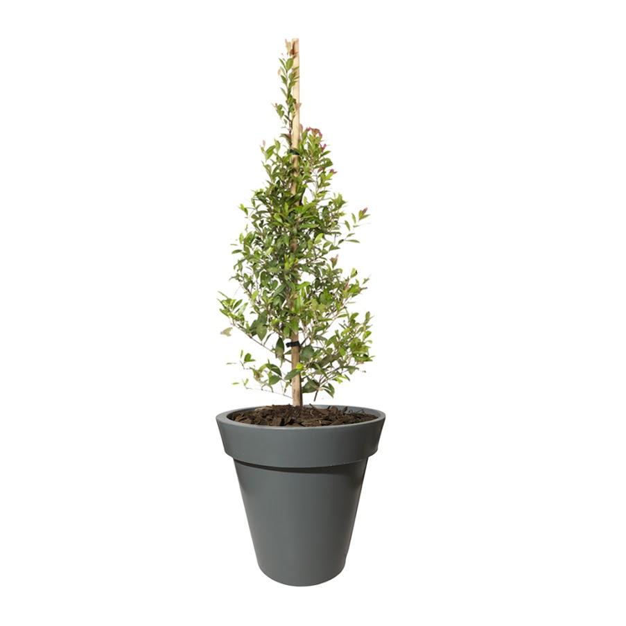 Plantas Faitful Plantas Exterior Buxus E10 Maceta Rotomoldeado Espanola - Plantas Faitful