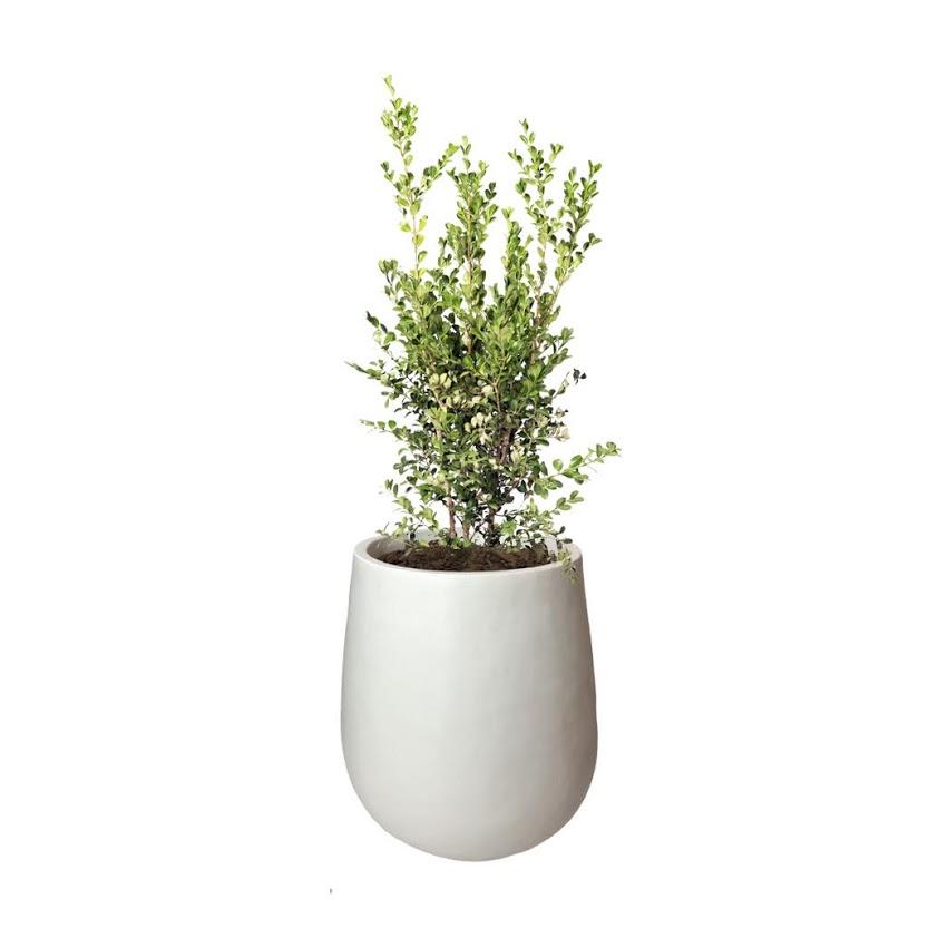 Plantas Faitful Plantas Exterior Buxus E10 Maceta Rotomoldeado Mate 35 Blanco - Plantas Faitful