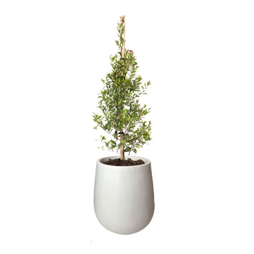 Plantas Faitful Plantas Exterior Eugenia E10 Maceta Rotomoldeado Mate 35 Blanco - Plantas Faitful