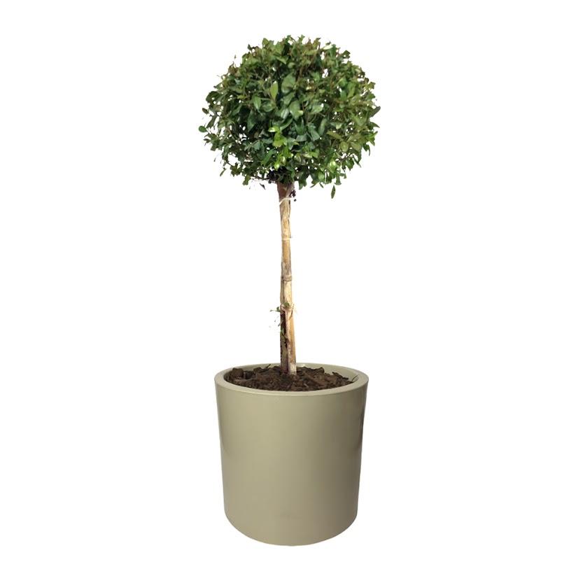 Plantas Faitful Plantas Exterior Eugenia Topiario E10 Maceta Rotomoldeado Cilindro E10 - Plantas Faitful