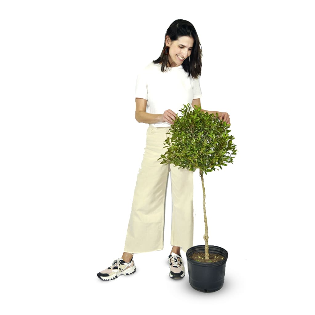 Plantas Faitful Plantas Exterior Eugenia Topiario E10 - Plantas Faitful