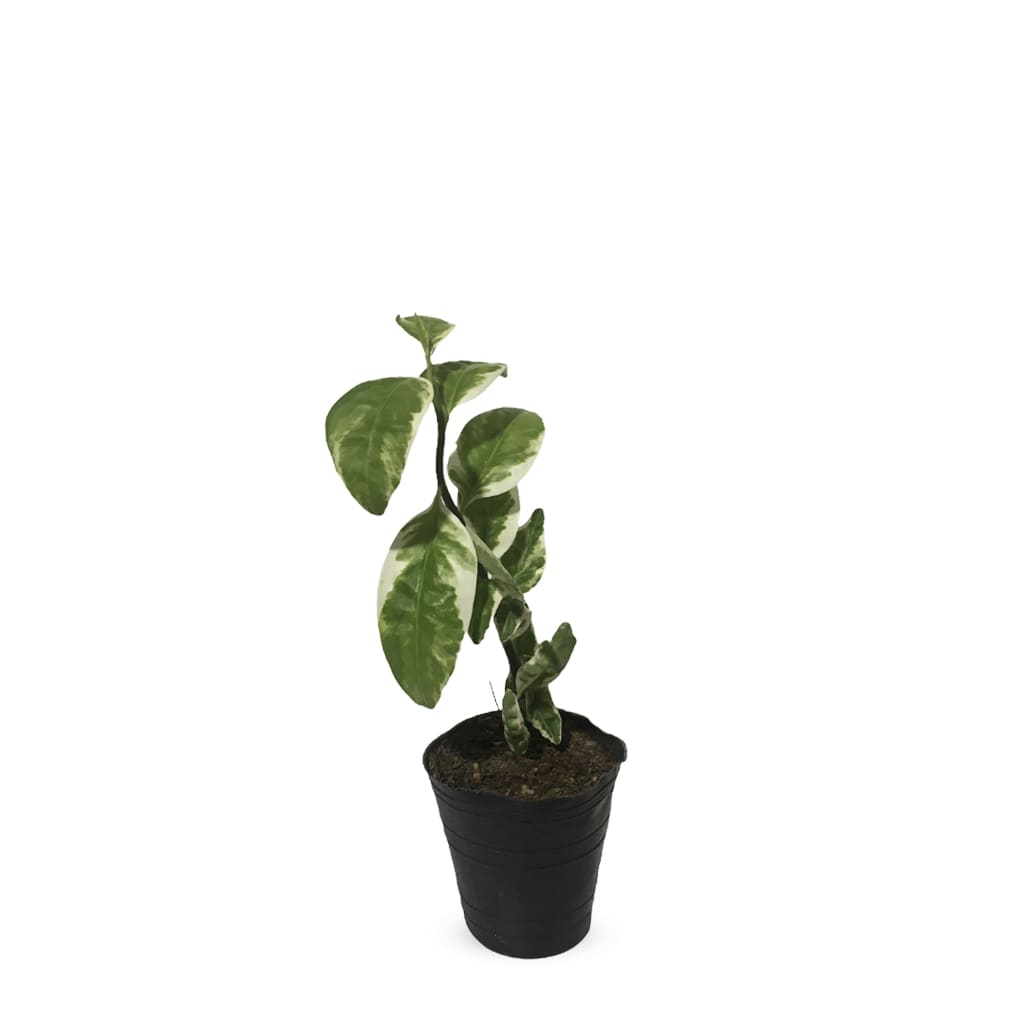 Plantas Faitful Plantas Exterior Euphorbia S - Plantas Faitful