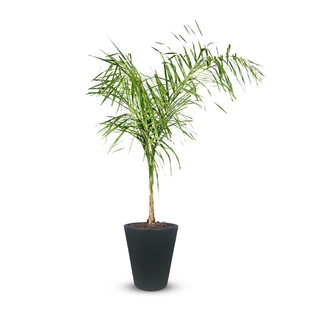 Plantas Faitful Plantas Exterior Palmera Pindo E7 Macetas Rotomoldeado Blum Africa Negro - Plantas Faitful