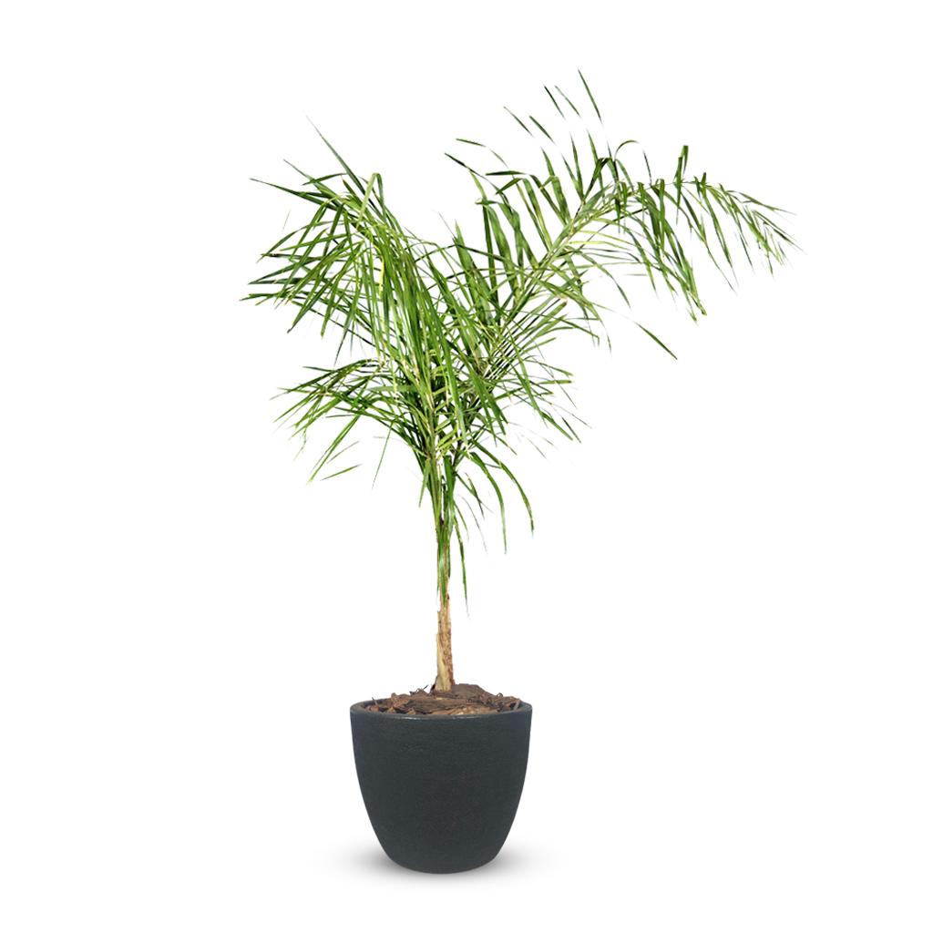 Plantas Faitful Plantas Exterior Palmera Pindo E7 Macetas Rotomoldeado Blum Andina Negro - Plantas Faitful