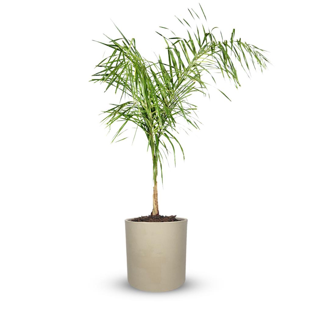 Plantas Faitful Plantas Exterior Palmera Pindo E7 Macetas Rotomoldeado Cilindro Beige - Plantas Faitful