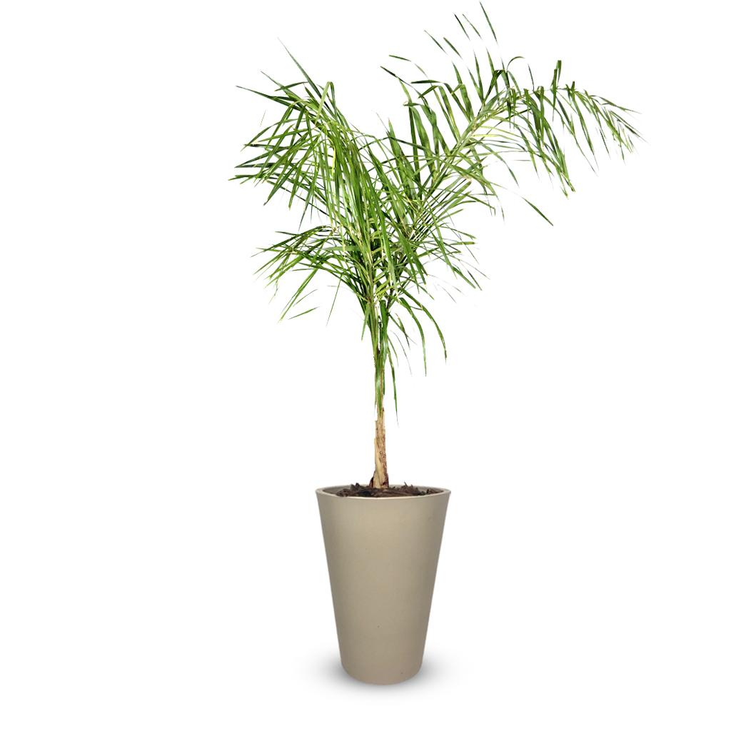 Plantas Faitful Plantas Exterior Palmera Pindo E7 Macetas Rotomoldeado Cono Arena - Plantas Faitful