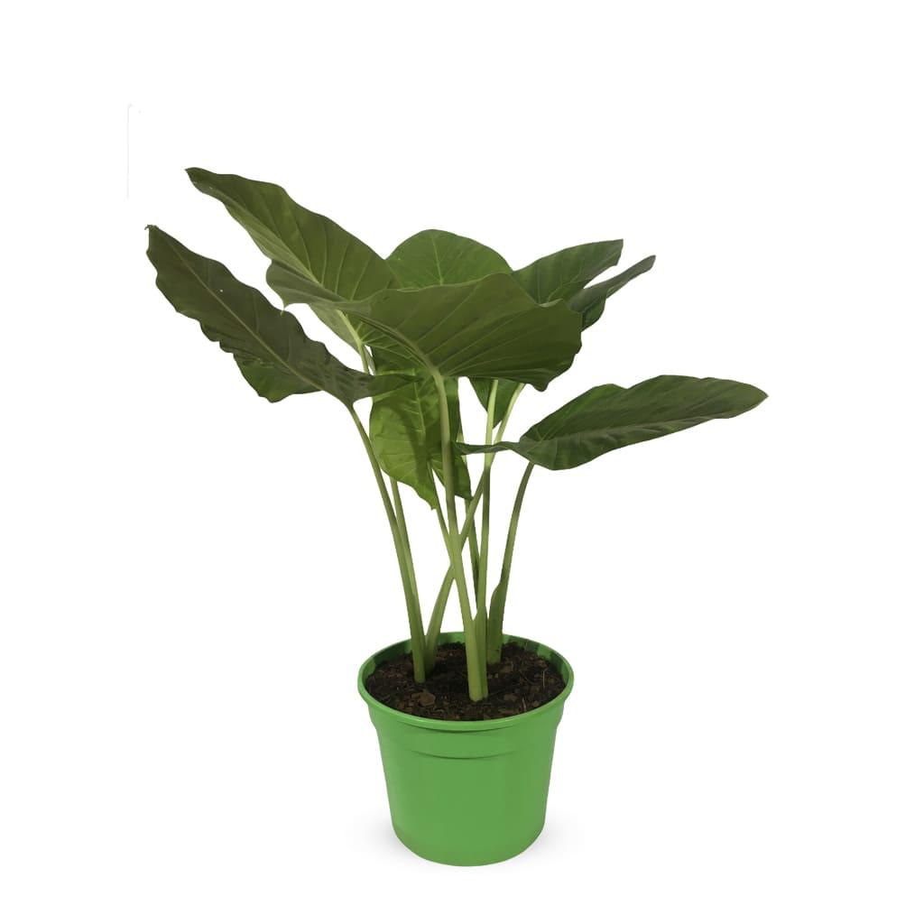 Plantas Faitful Plantas Interior Alocasia XL - Plantas Faitful
