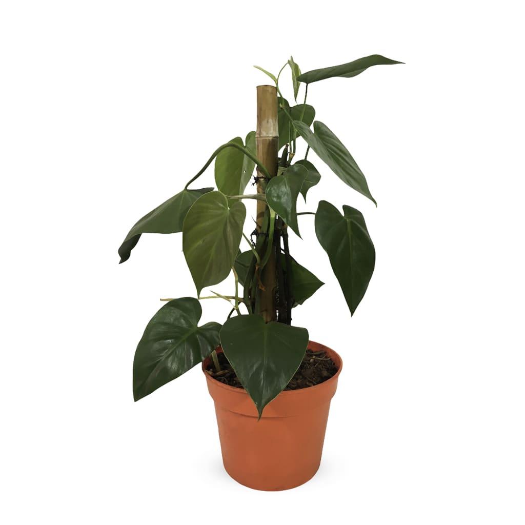 Plantas Faitful Plantas Interior Cordatum 1 - Plantas Faitful