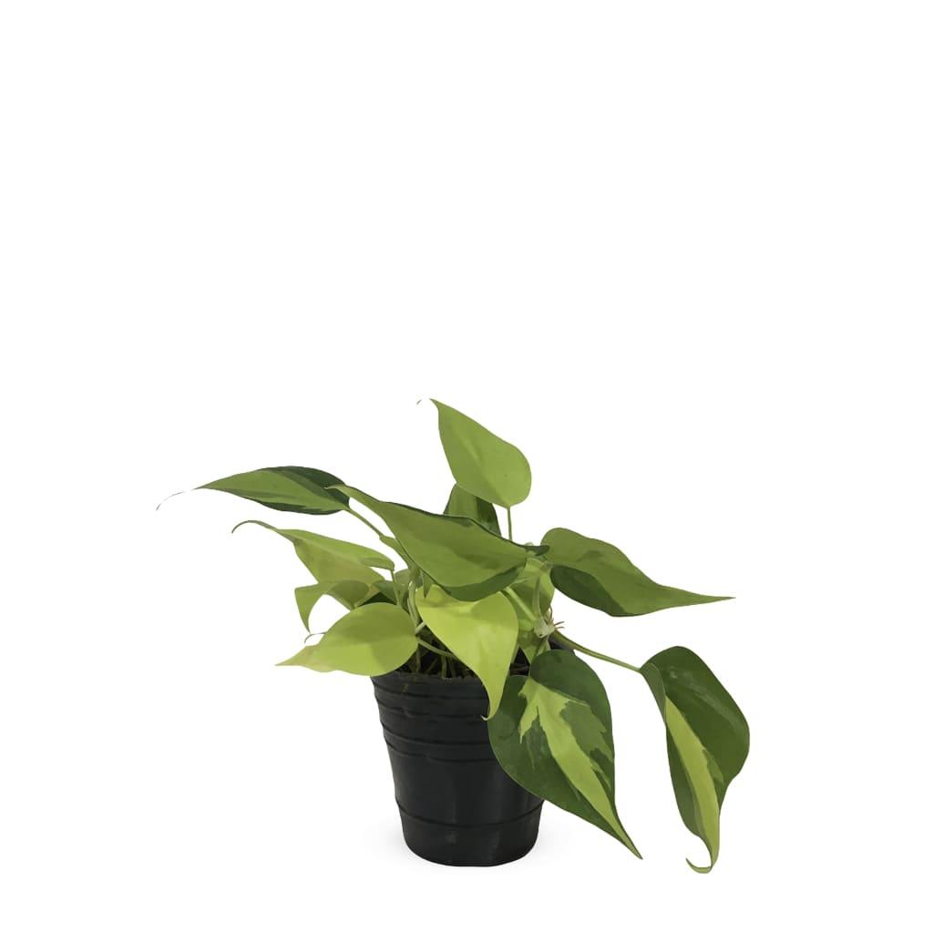 Plantas Faitful Plantas Interior Cordatum Brasil S - Plantas Faitful