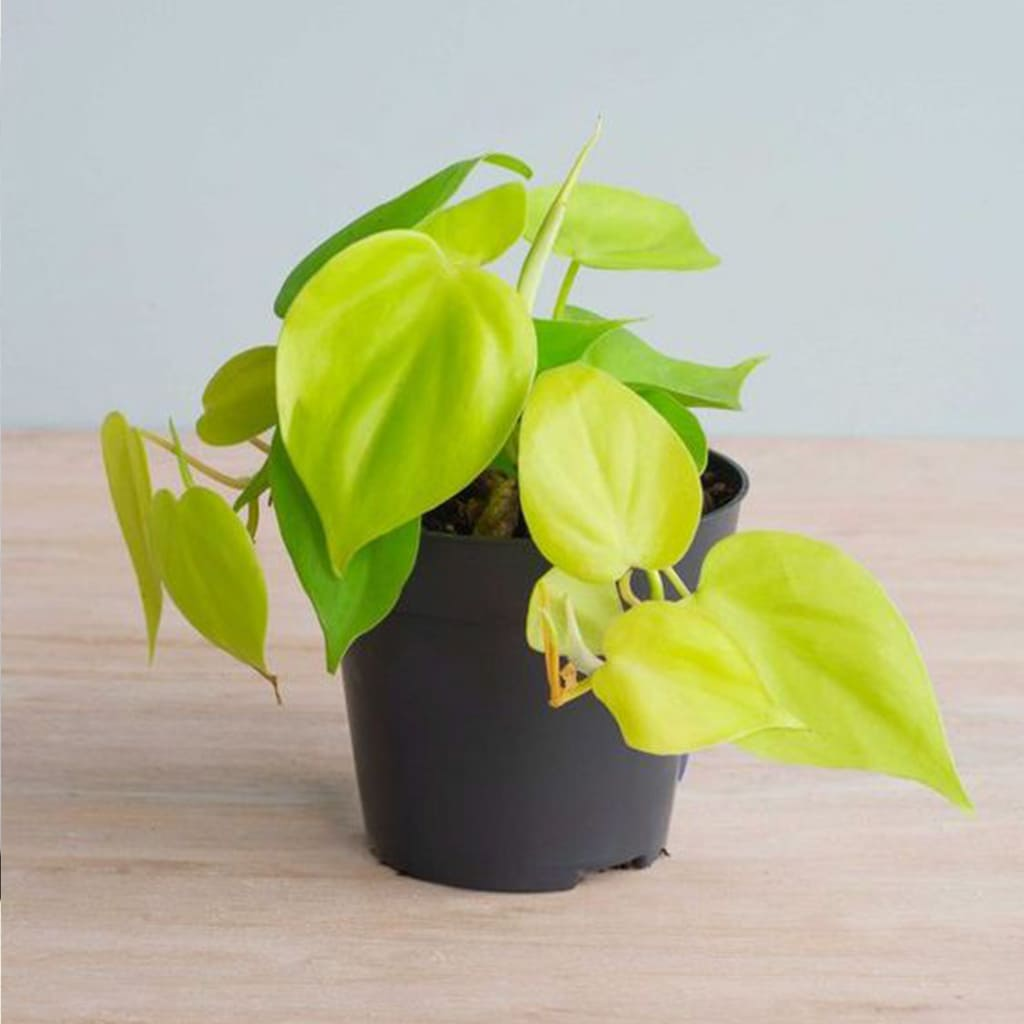 Plantas Faitful Plantas Interior Cordatum Lemon M12 - Plantas Faitful