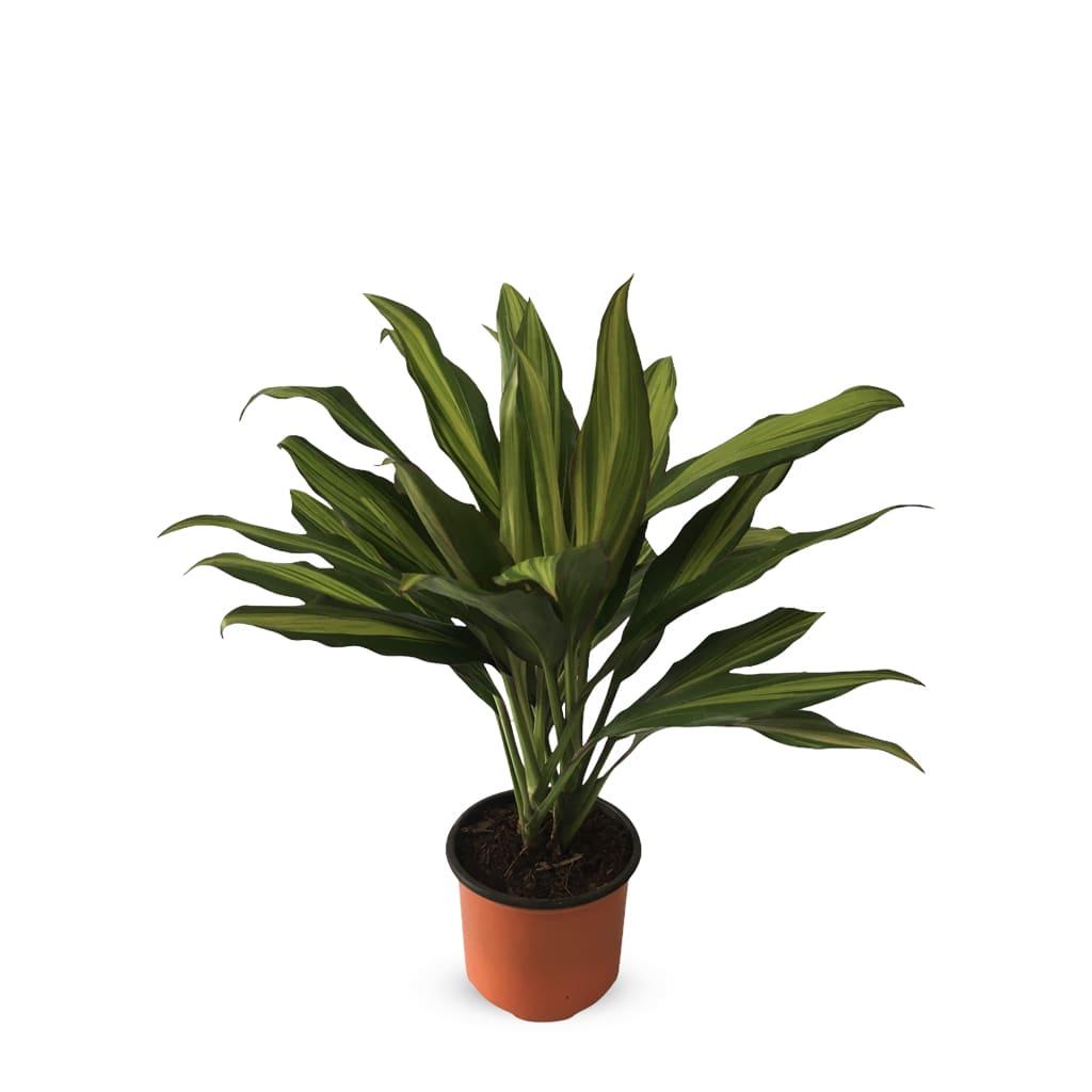 Plantas Faitful Plantas Interior Cordyline Kiwi M13 - Plantas Faitful