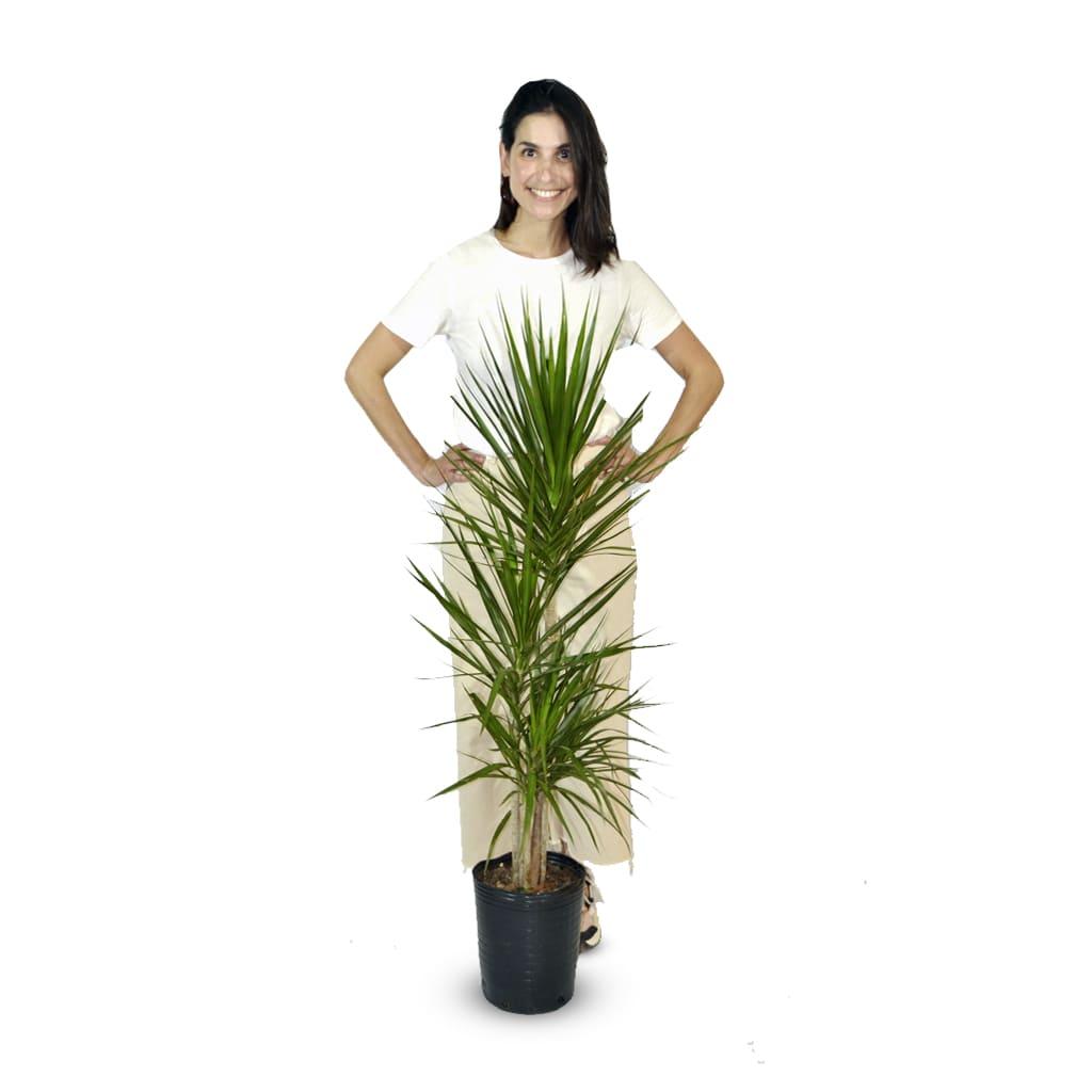 Plantas Faitful Plantas Interior Dracaena Marginata E7 - Plantas Faitful