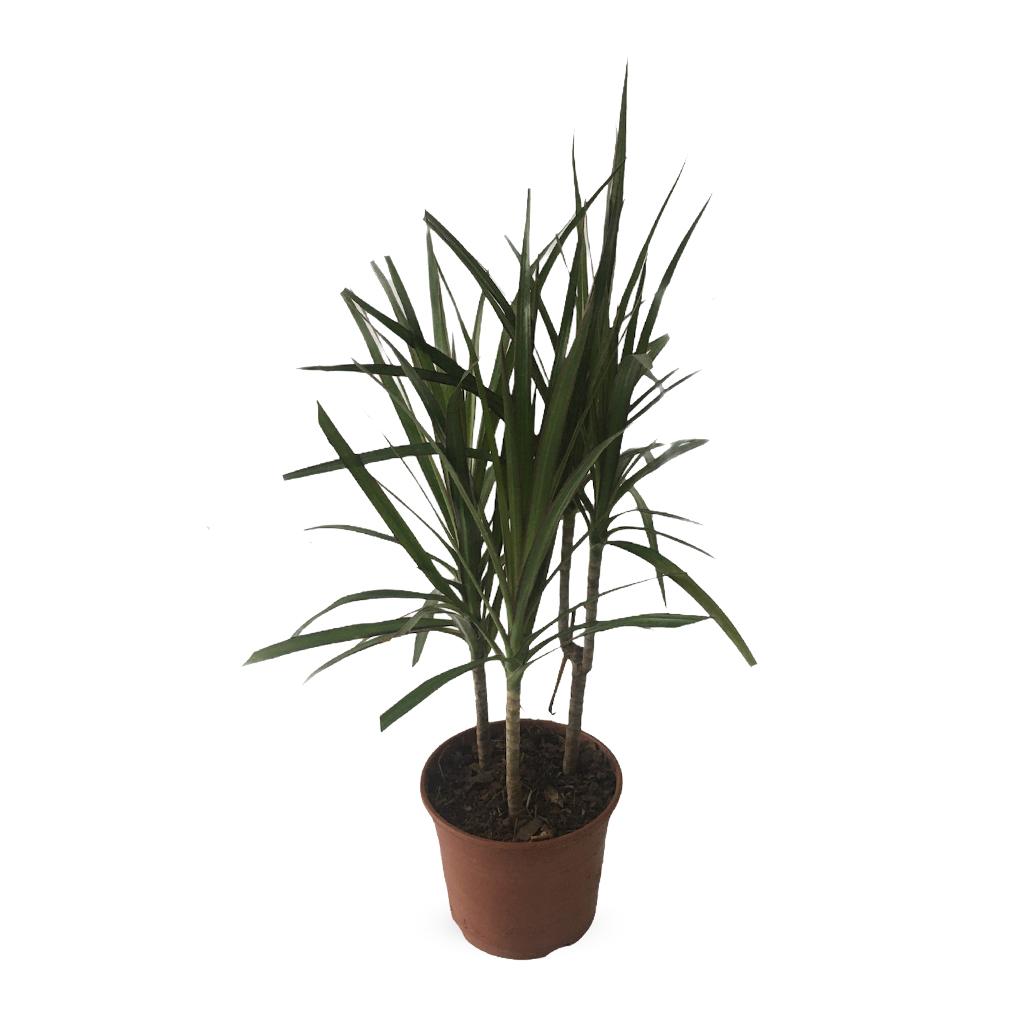 Plantas Faitful Plantas Interior Dracaena Marginata M13 - Plantas Faitful
