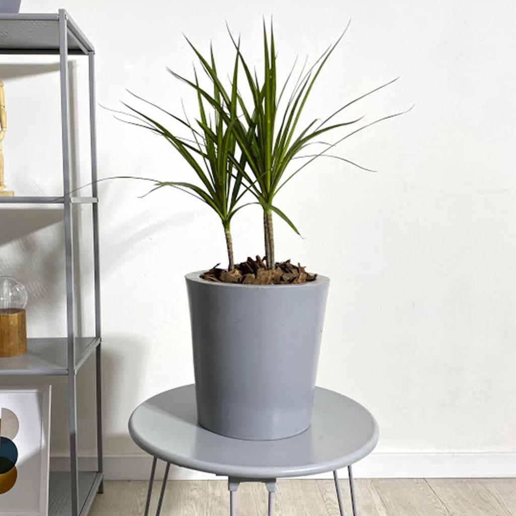 Plantas Faitful Plantas Interior Dracaena Marginata M14 - Plantas Faitful