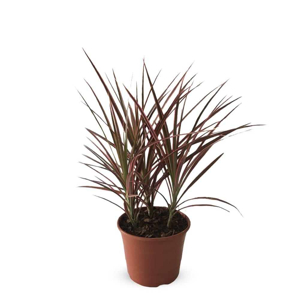 Plantas Faitful Plantas Interior Dracaena Marginata Tricolor M13 - Plantas Faitful