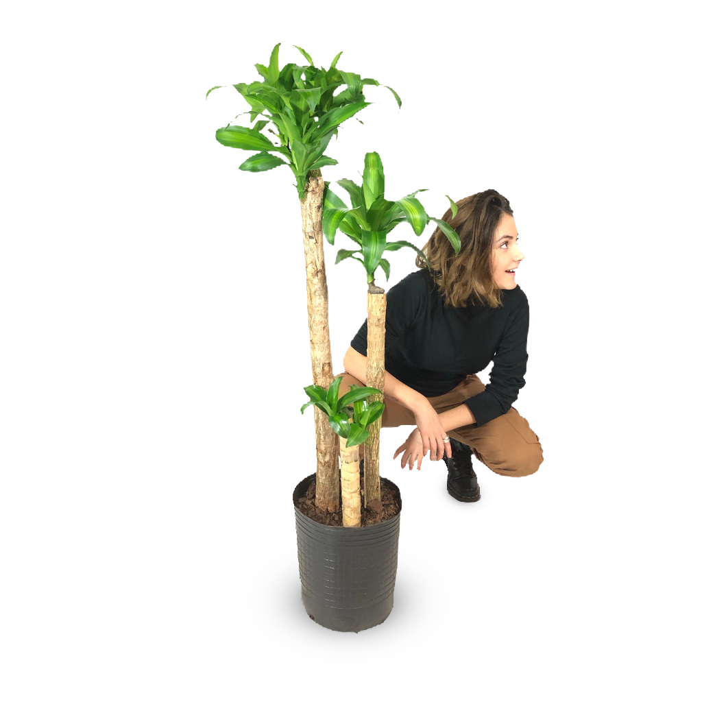 Plantas Faitful Plantas Interior Dracaena Massangeana E15 Dimension - Plantas Faitful