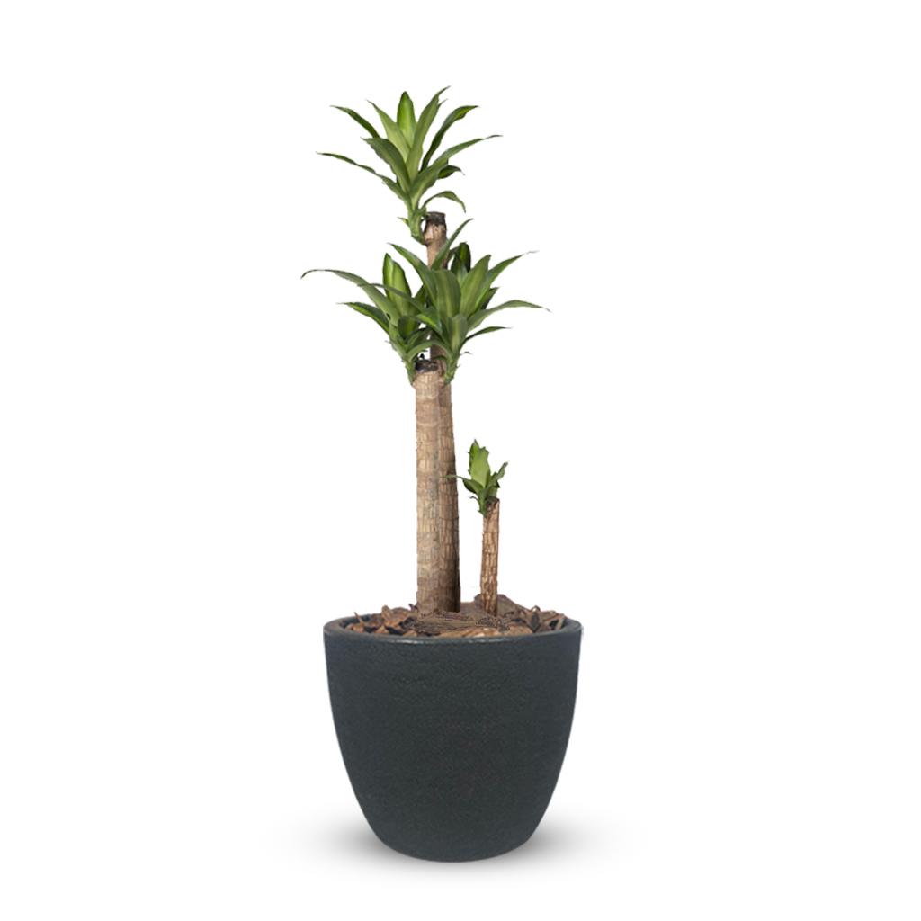 Plantas Faitful Plantas Interior Dracaena Massangeana E15 Macetas Rotomoldeado Blum Andina Negro 1 - Plantas Faitful