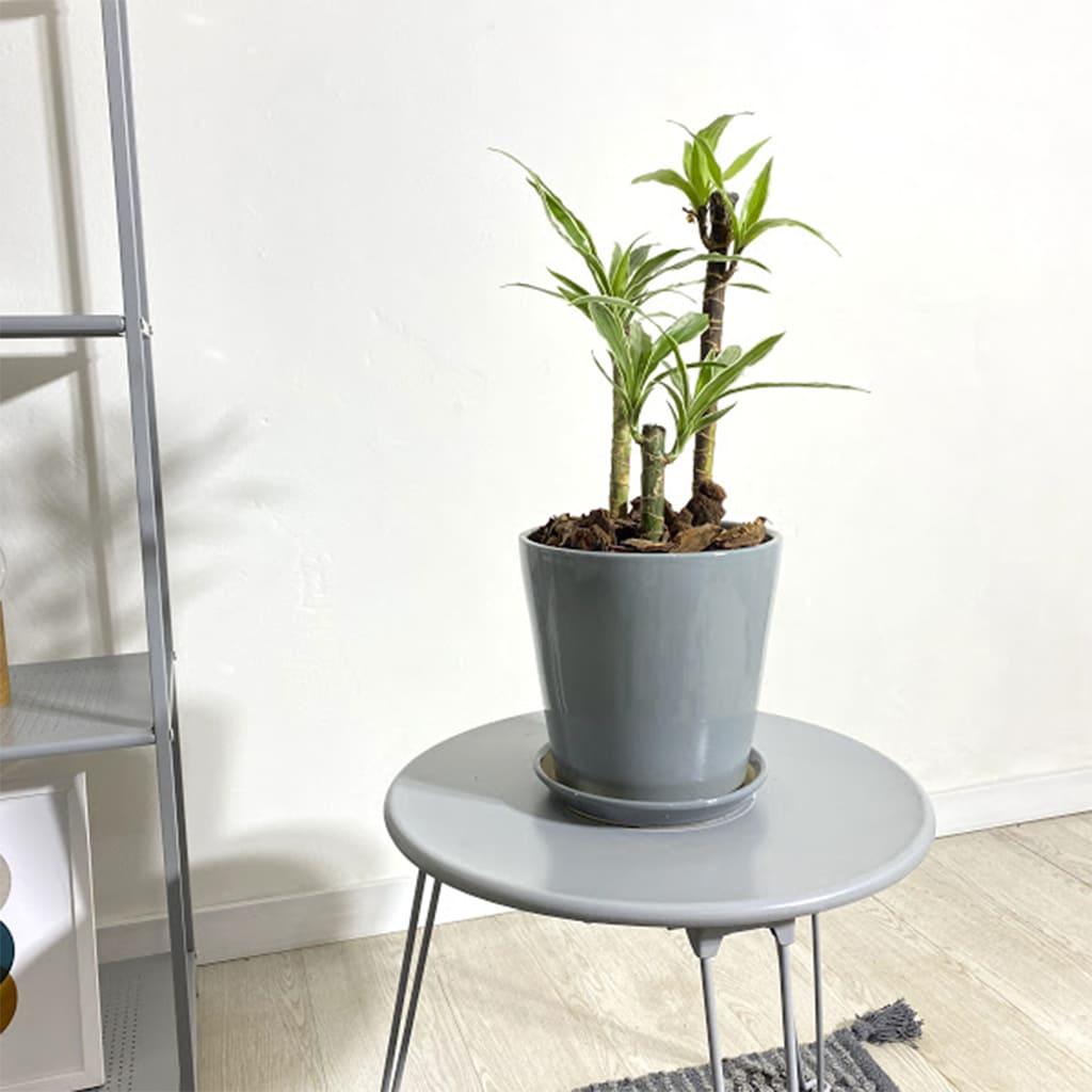 Plantas Faitful Plantas Interior Dracaena Warneckii M14 - Plantas Faitful