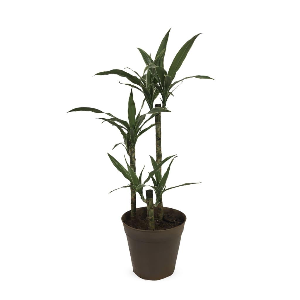 Plantas Faitful Plantas Interior Dracaena Warneckii - Plantas Faitful