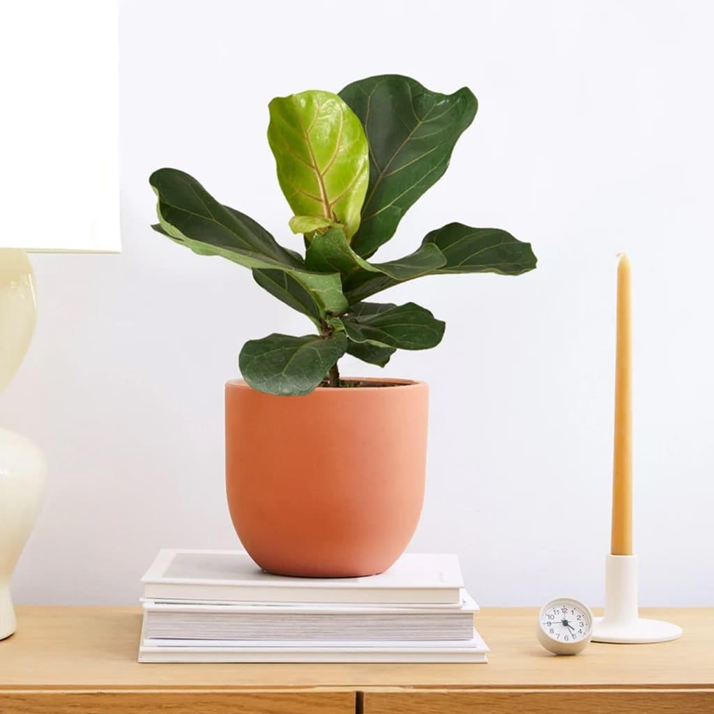 Plantas Faitful Plantas Interior Ficus Pandurata M19 2 - Plantas Faitful