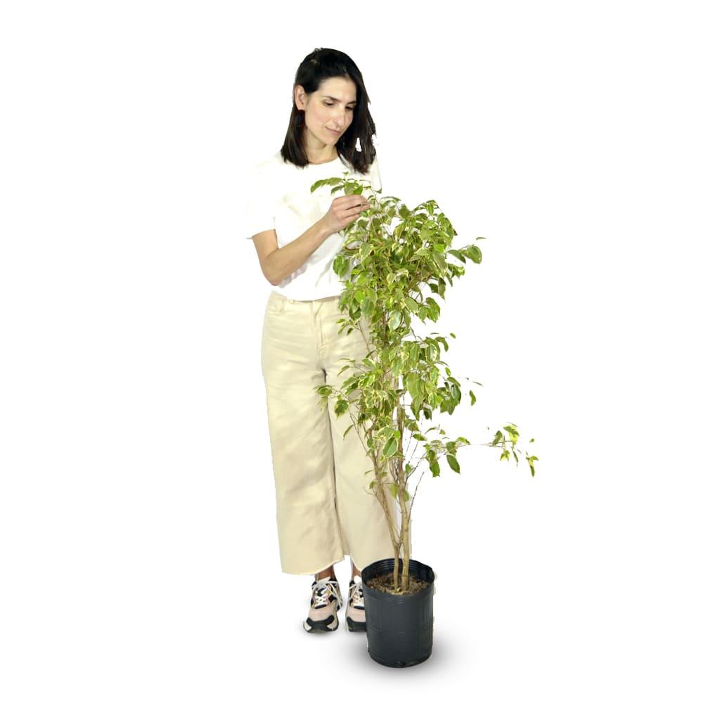 Plantas Faitful Plantas Interior Ficus Variegado E7 - Plantas Faitful