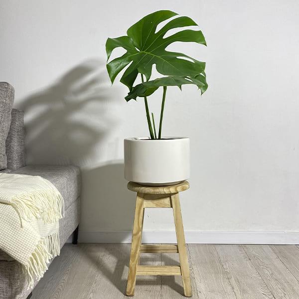 Plantas Faitful Plantas Interior Monstera Deliciosa E3 - Plantas Faitful