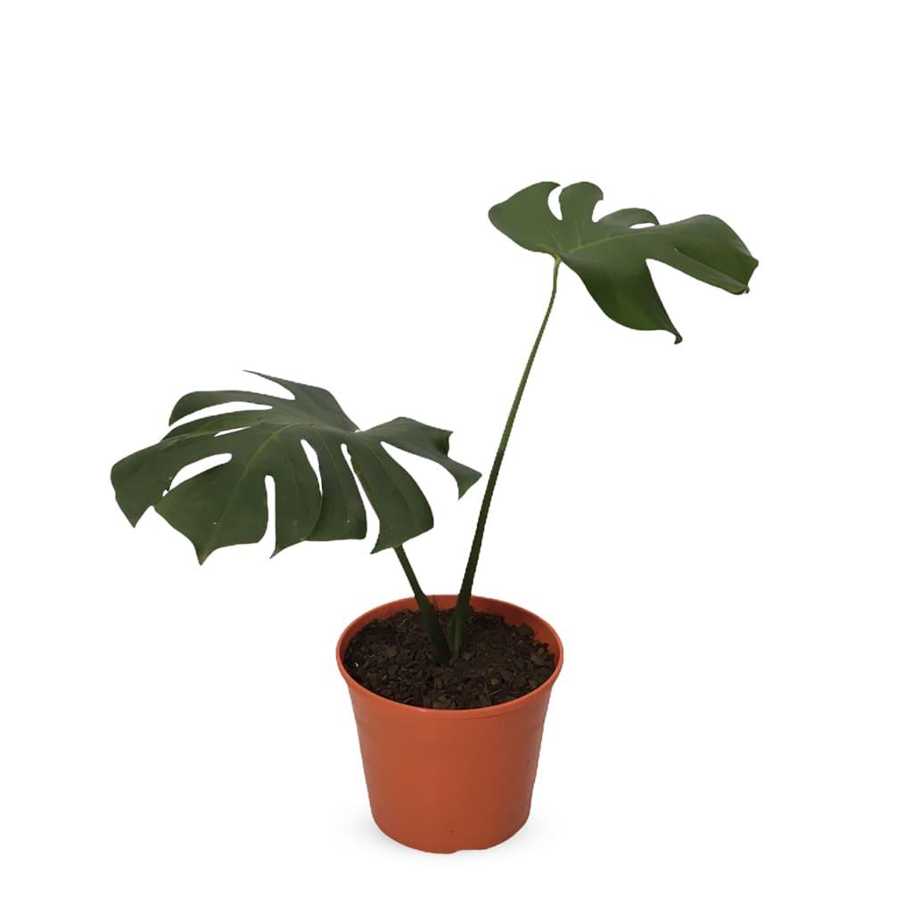 Plantas Faitful Plantas Interior Monstera Deliciosa - Plantas Faitful