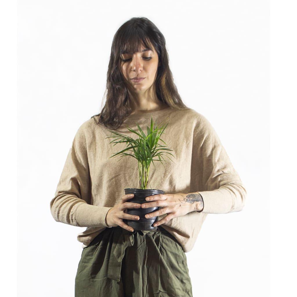 Plantas Faitful Plantas Interior Palmito M12 Dimension 1 - Plantas Faitful
