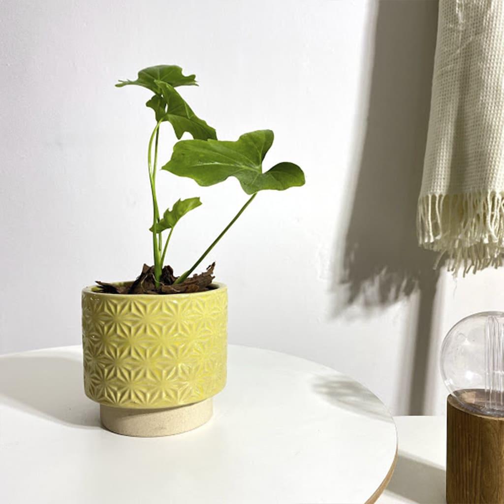 Plantas Faitful Plantas Interior Philodendron Guembe - Plantas Faitful