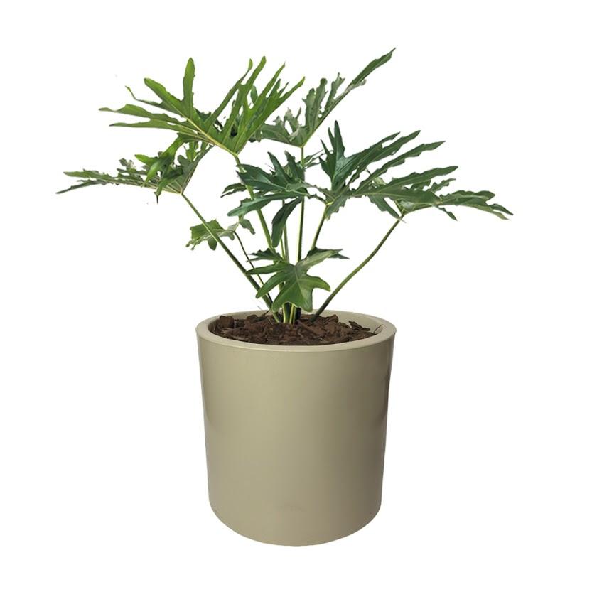 Plantas Faitful Plantas Interior Philodendron Xanadu Maceta Rotomoldeado Cilindro 30 Beige - Plantas Faitful