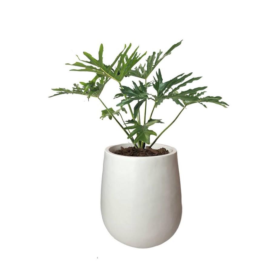 Plantas Faitful Plantas Interior Philodrendon Misionero Maceta Rotomoldeado Mate Blanco 35 - Plantas Faitful