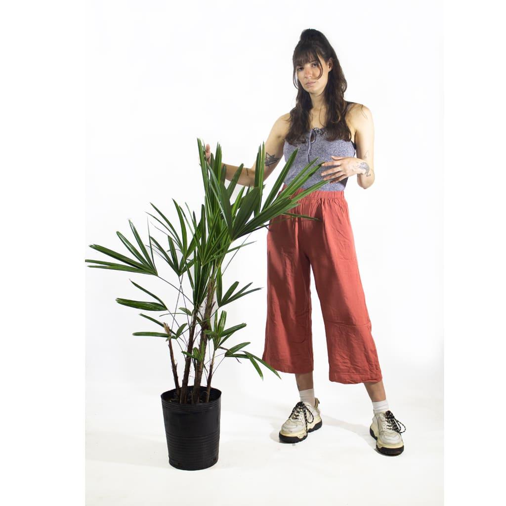 Plantas Faitful Plantas Interior Raphis E7 Dimension 1 - Plantas Faitful