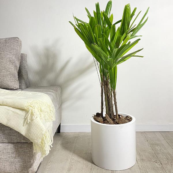 Plantas Faitful Plantas Interior Raphis E7 - Plantas Faitful