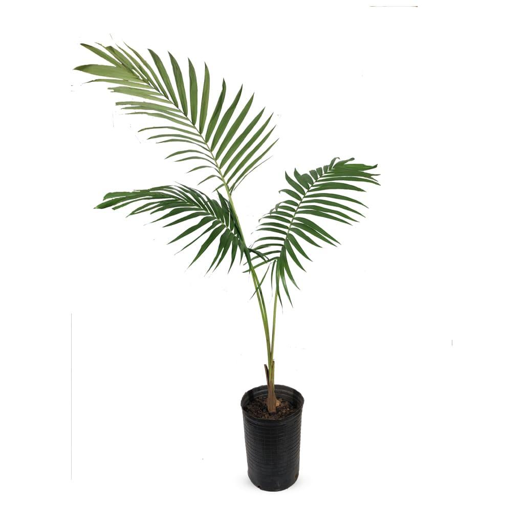Plantas Faitful Plantas Interior Seaforthia - Plantas Faitful