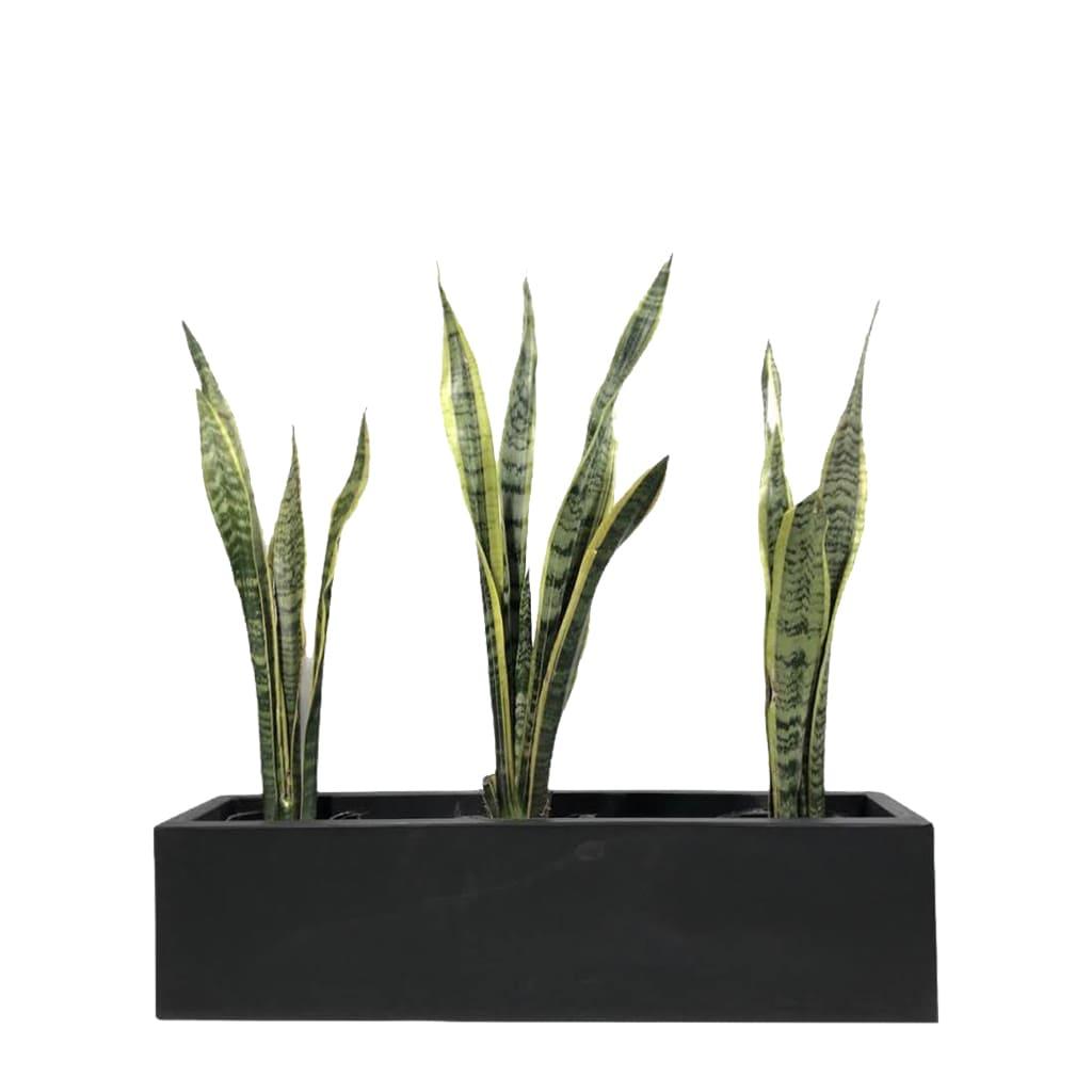 Plantas Faitful Plantas Sansevieria Variegada E3 Jardinera Rotomoldeado 80 - Plantas Faitful