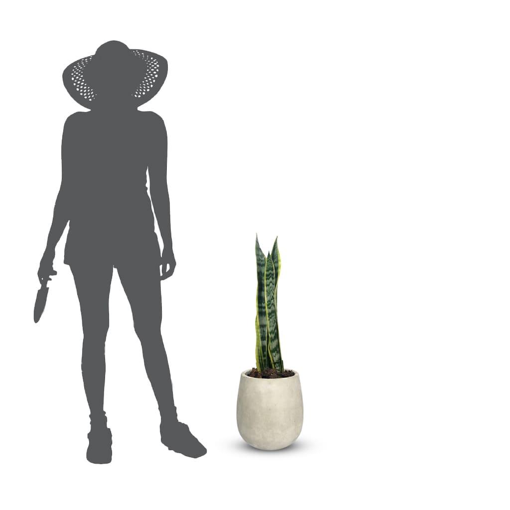 Plantas Faitful plantas Interior Sanseviera E3 Dimension 1 1 - Plantas Faitful