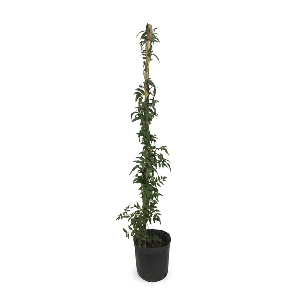 Plantas Faitful Plantas Exterior Jazmin Chino M - Plantas Faitful
