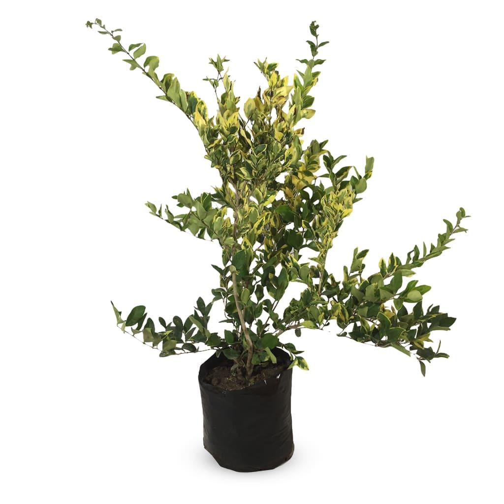 Plantas Faitful Plantas Exterior Olea Texana E10 - Plantas Faitful