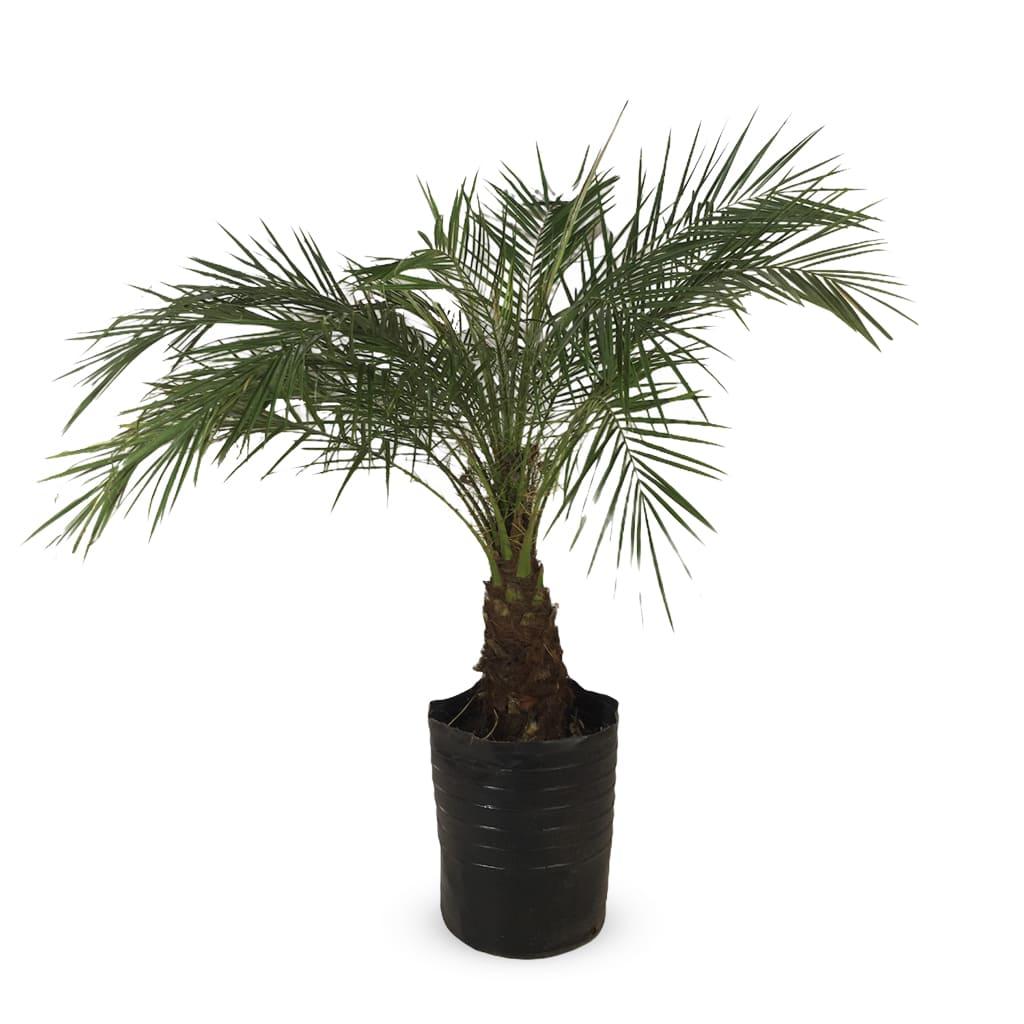 Plantas Faitful Plantas Exterior Phoenix Roebellini E20 - Plantas Faitful
