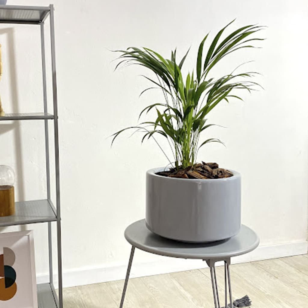 Plantas Faitful Plantas Interior Areca E3 1 - Plantas Faitful