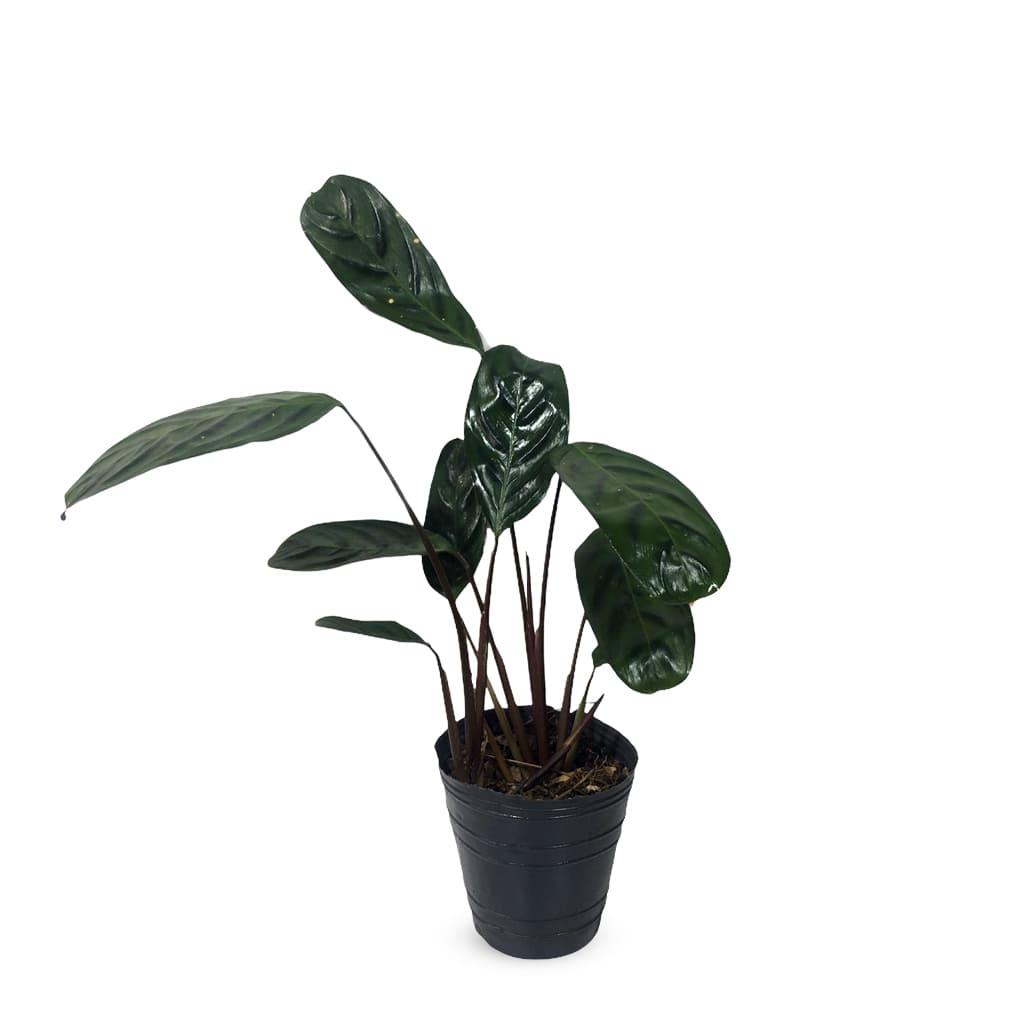 Plantas Faitful Plantas Interior Calathea Panza De Sapo M12 - Plantas Faitful