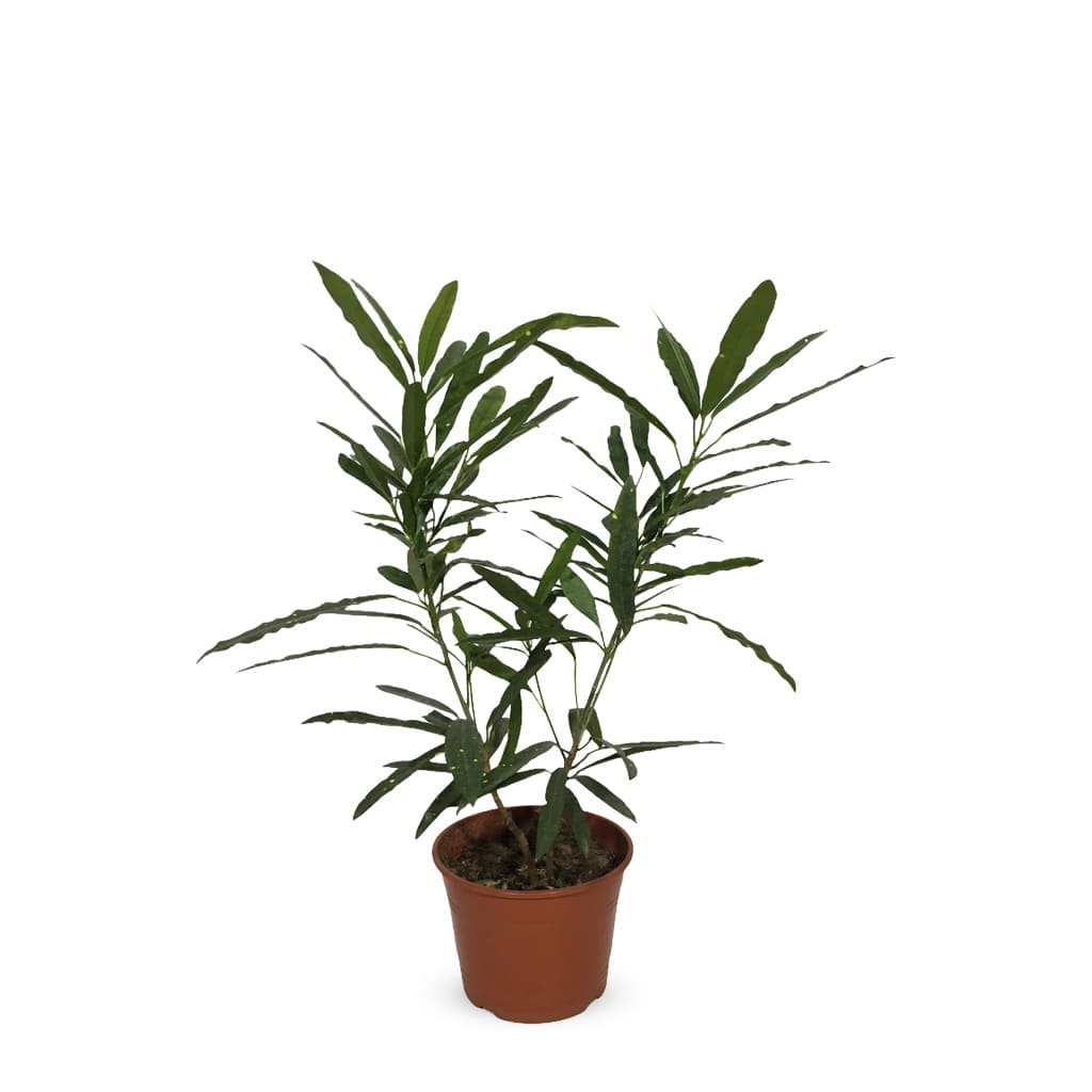 Plantas Faitful Plantas Interior Croton Fideo - Plantas Faitful