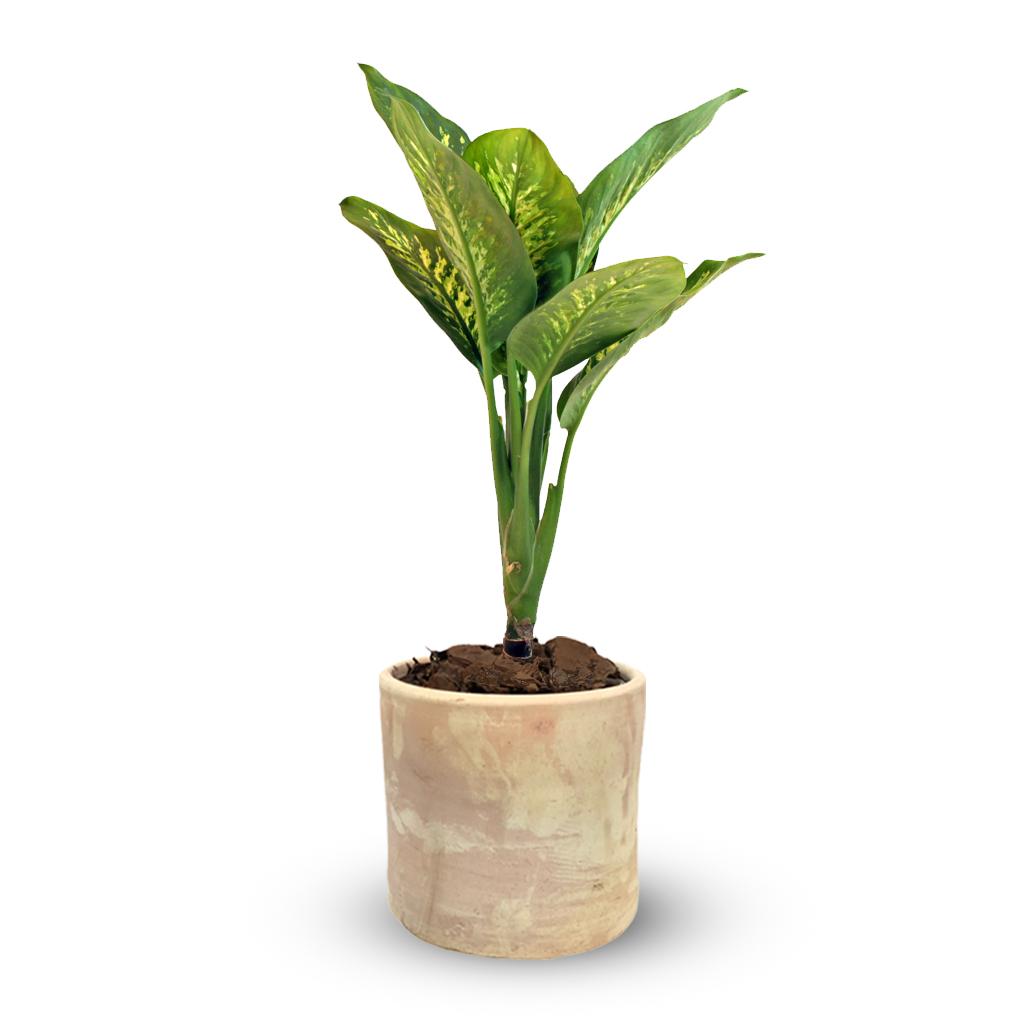 Plantas Faitful Plantas Interior Dieffenbachia Tropic M19 Macetas Barro Cilindro 20 - Plantas Faitful