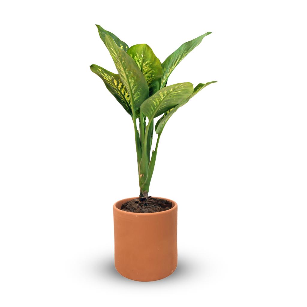 Plantas Faitful Plantas Interior Dieffenbachia Tropic M19 Macetas Barro Cilindro blum 18 - Plantas Faitful