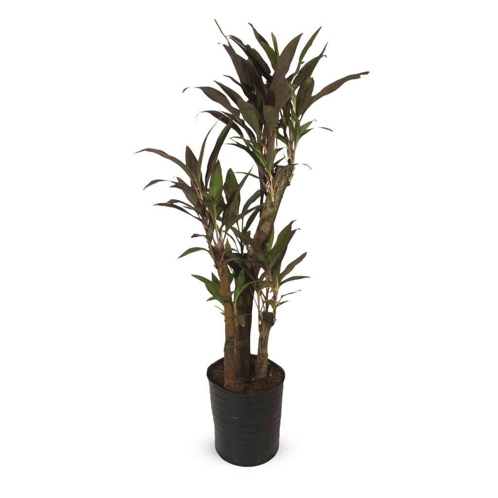 Plantas Faitful Plantas Interior Dracaena Rubra E15 - Plantas Faitful