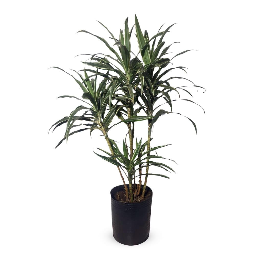Plantas Faitful Plantas Interior Dracaena Warneckii XL - Plantas Faitful