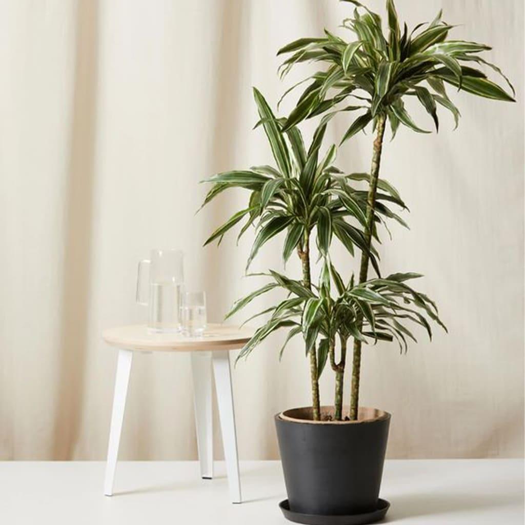 Plantas Faitful Plantas Interior Dracaena warneckii E15 1 - Plantas Faitful