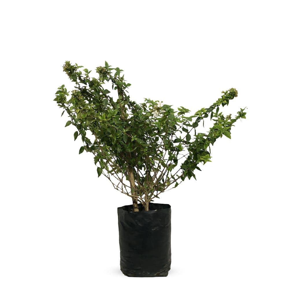 Plantas Faitful Plantas Exterior Abelia L - Plantas Faitful