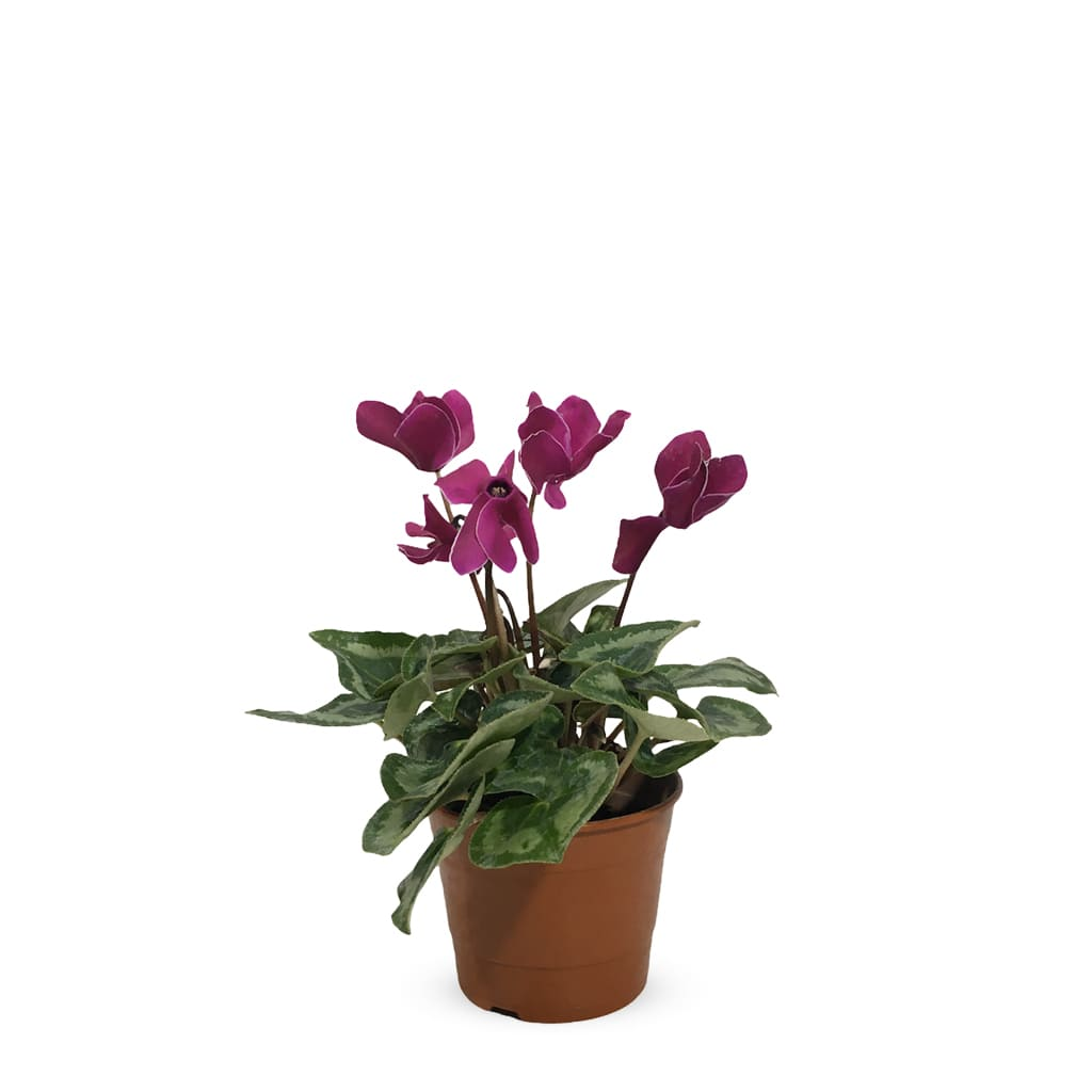 Plantas Faitful Plantas Exterior Ciclamina S - Plantas Faitful