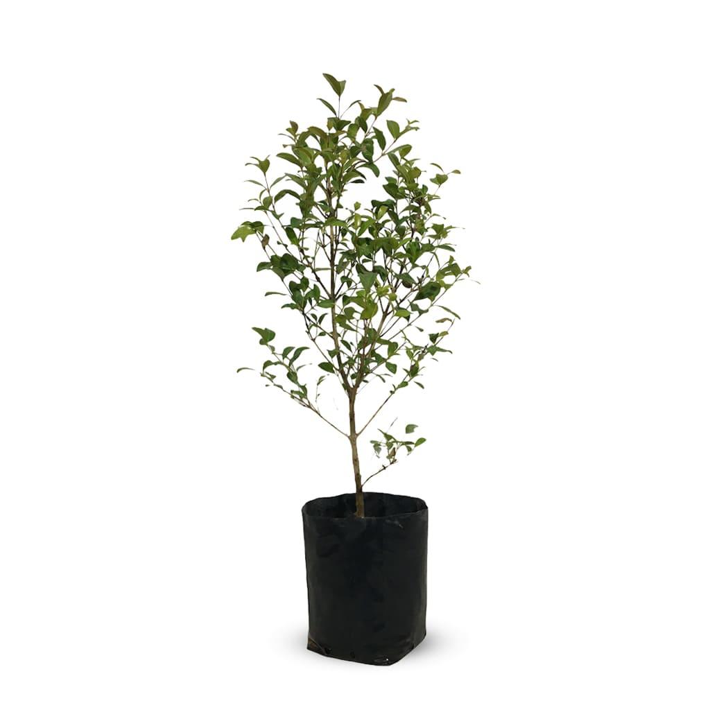 Plantas Faitful Plantas Exterior Eugenia M - Plantas Faitful